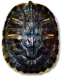 R Turtles Lucky  Lucky   the alleged Satanic